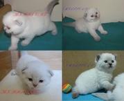 Сказочные котята из питомника