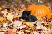 Шотландская скоттиш-страйт  девочка от моего шотландского кота.