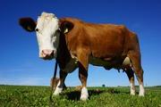 Комбина Закупляет Говядидину коров