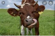 Мясокомбинат закупает говядину